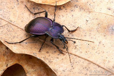 Scaphinotus petersi - Ground Beetle (Carabidae).  Arizona, USA.  filename: Scaphinotus1