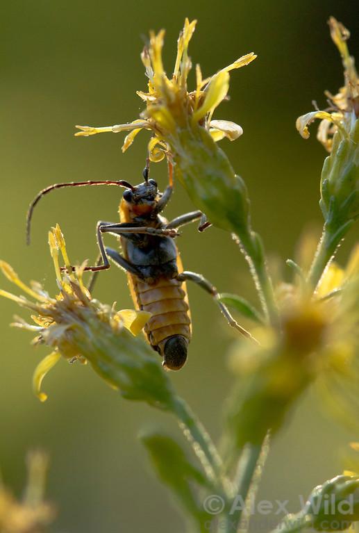 Chauliognathus pensylvanicus, a soldier beetle, catches an October sunset.  Urbana, Illinois, USA