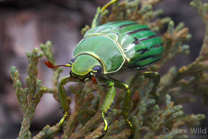 Chrysina gloriosa - Glorious Beetle.  Huachuca Mountains, Arizona, USA.  filename: gloriosa3