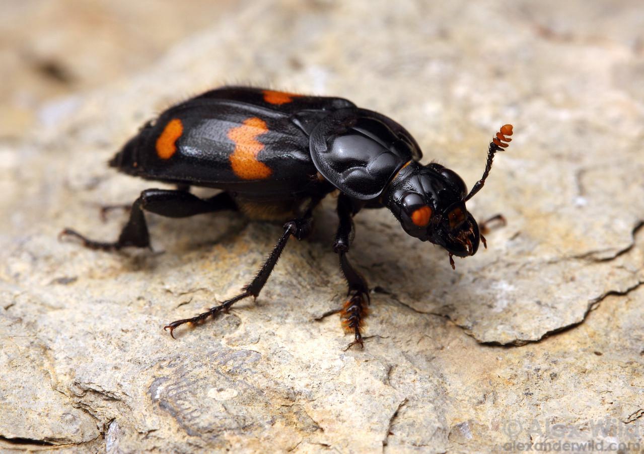 Nicrophorus orbicollis burying beetle.  Dixon Springs, Illinois, USA