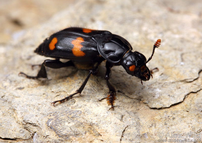 Nicrophorus orbicollis burying beetle.  Dixon Springs, Illinois, USA