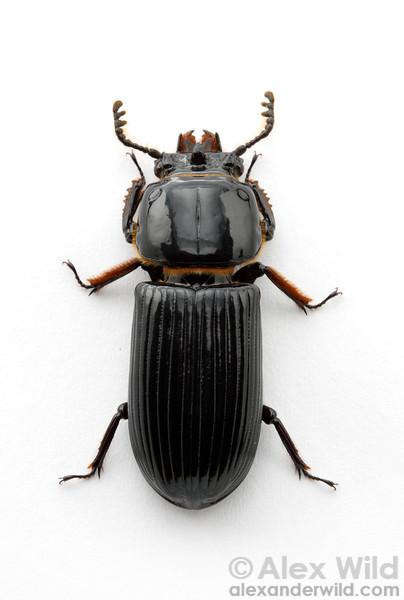 Odontotaenius disjunctus - horned passalus.  Dixon Springs, Illinois, USA