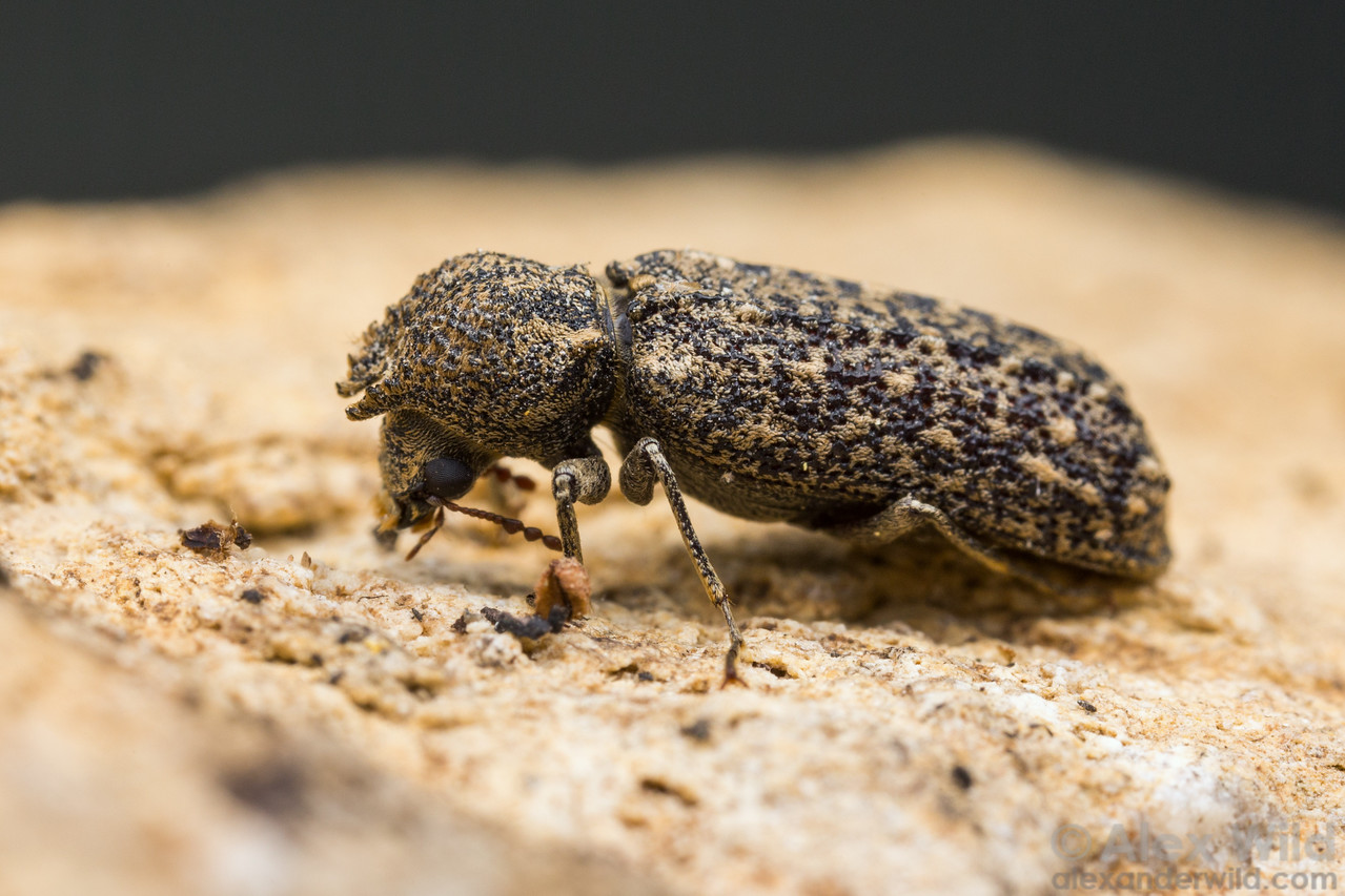 Lichenophanes bicornis