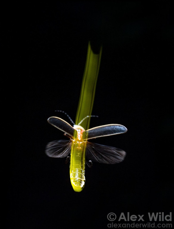 A male firefly, Photinus pyralis, signals to females with an illuminated upward swoop.  Urbana, Illinois, USA
