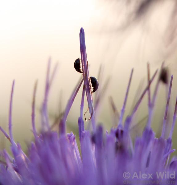 Olibrus shining flower beetles (Phalacridae) in a thistle flower.  Urbana, Illinois, USA