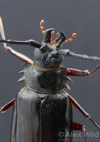 Derobrachus hovorei - palo verde root borer beetle (Cerambycidae).  Tucson, Arizona, USA.  filename: Derobrachus1