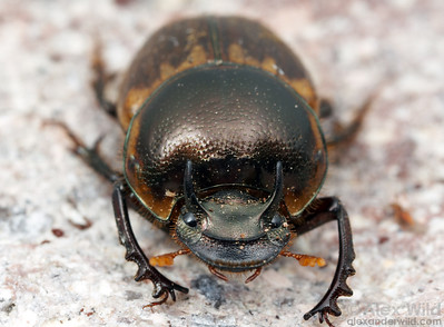 Onthophagus gazella - Gazelle Scarab. Arizona, USA.  filename: onthophagus1