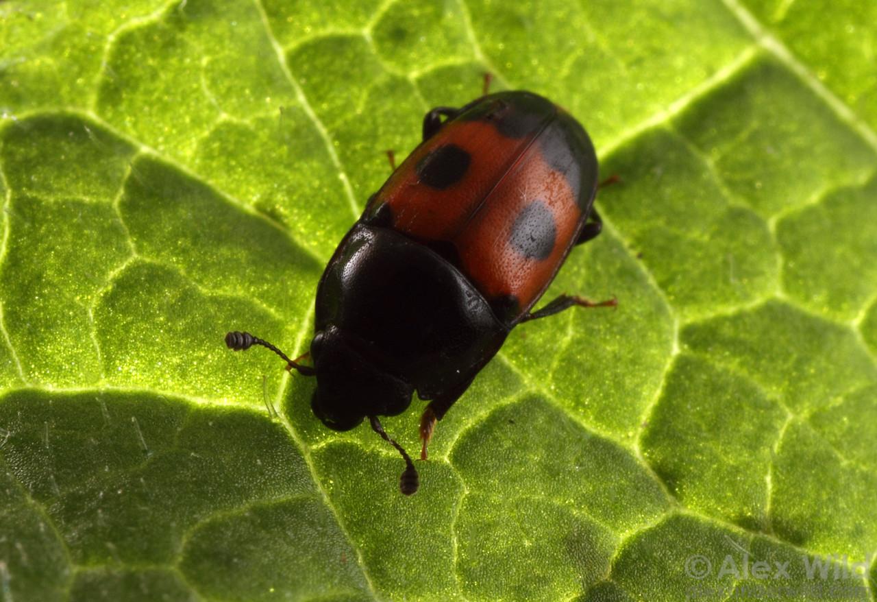 Glischrochilus sanguinolentus sap beetle (Nitidulidae).  Shawnee National Forest, Illinois, USA