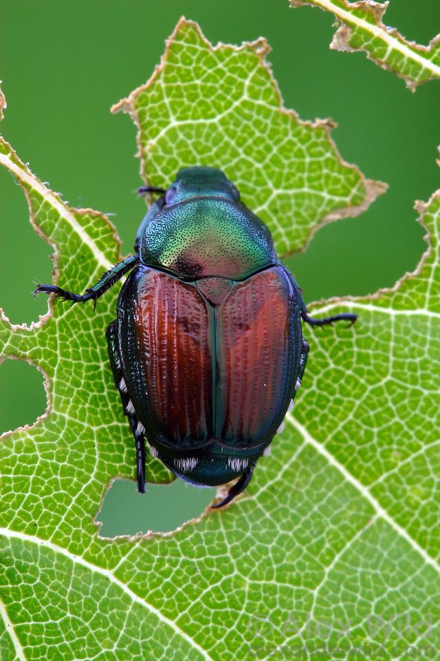 Popillia japonica - Japanese Beetle, Illinois, USA.  filename: popillia5