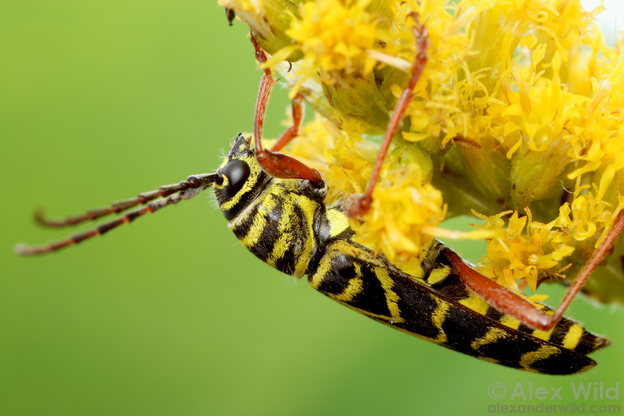 Megacyllene robiniae - Locust Borer. Champaign, Illinois.  filename: Megacyllene2