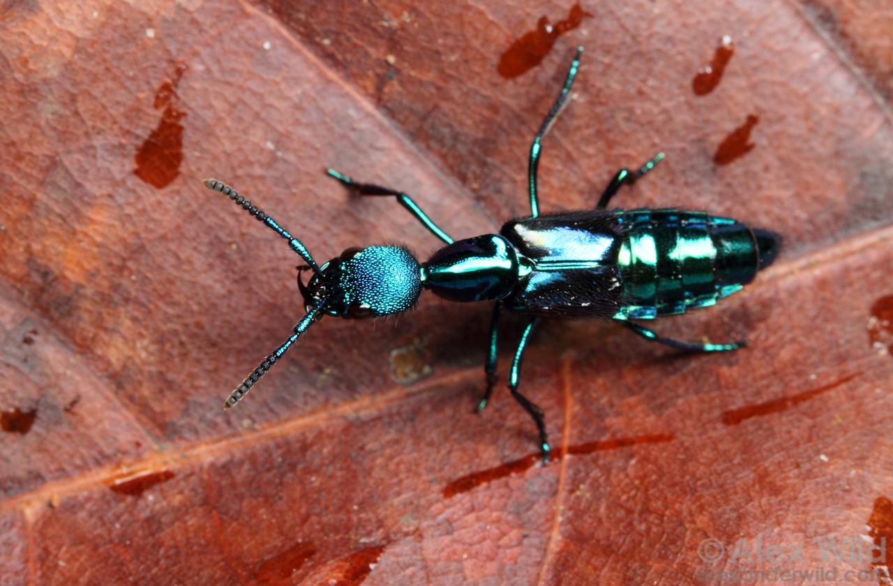 Plochionocerus rove beetle  Jatun Sacha reserve, Napo, Ecuador