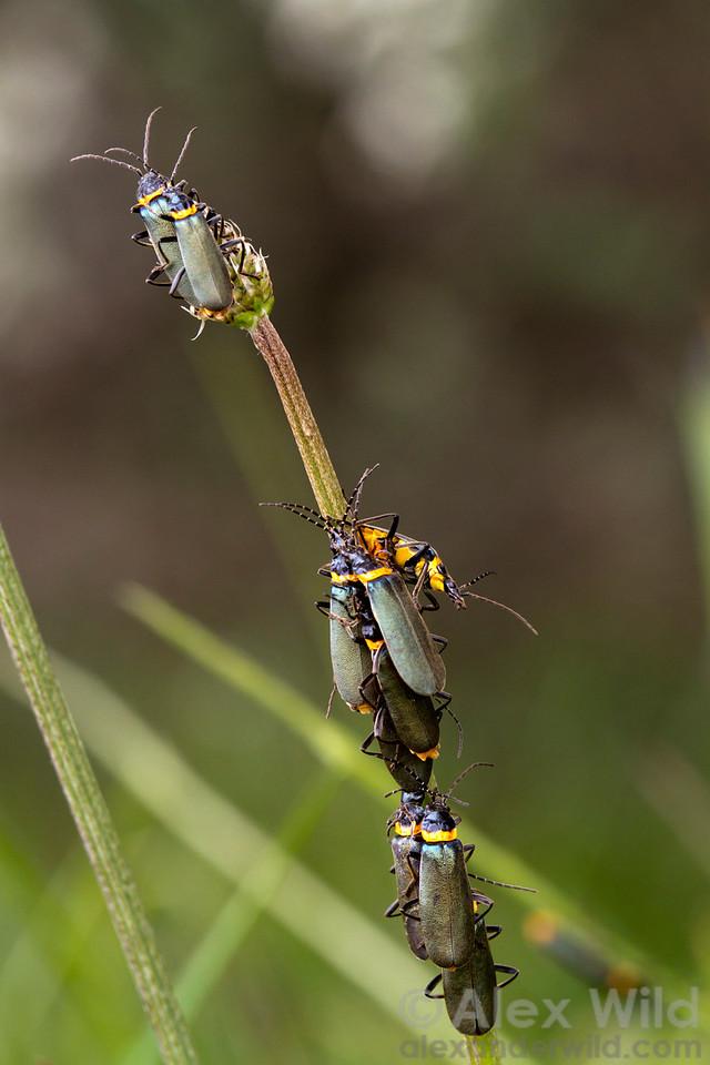 A mating aggregation of plague soldier beetles, Chauliognathus lugubris, in the Australian alps.  Mt. Hotham, Victoria, Australia
