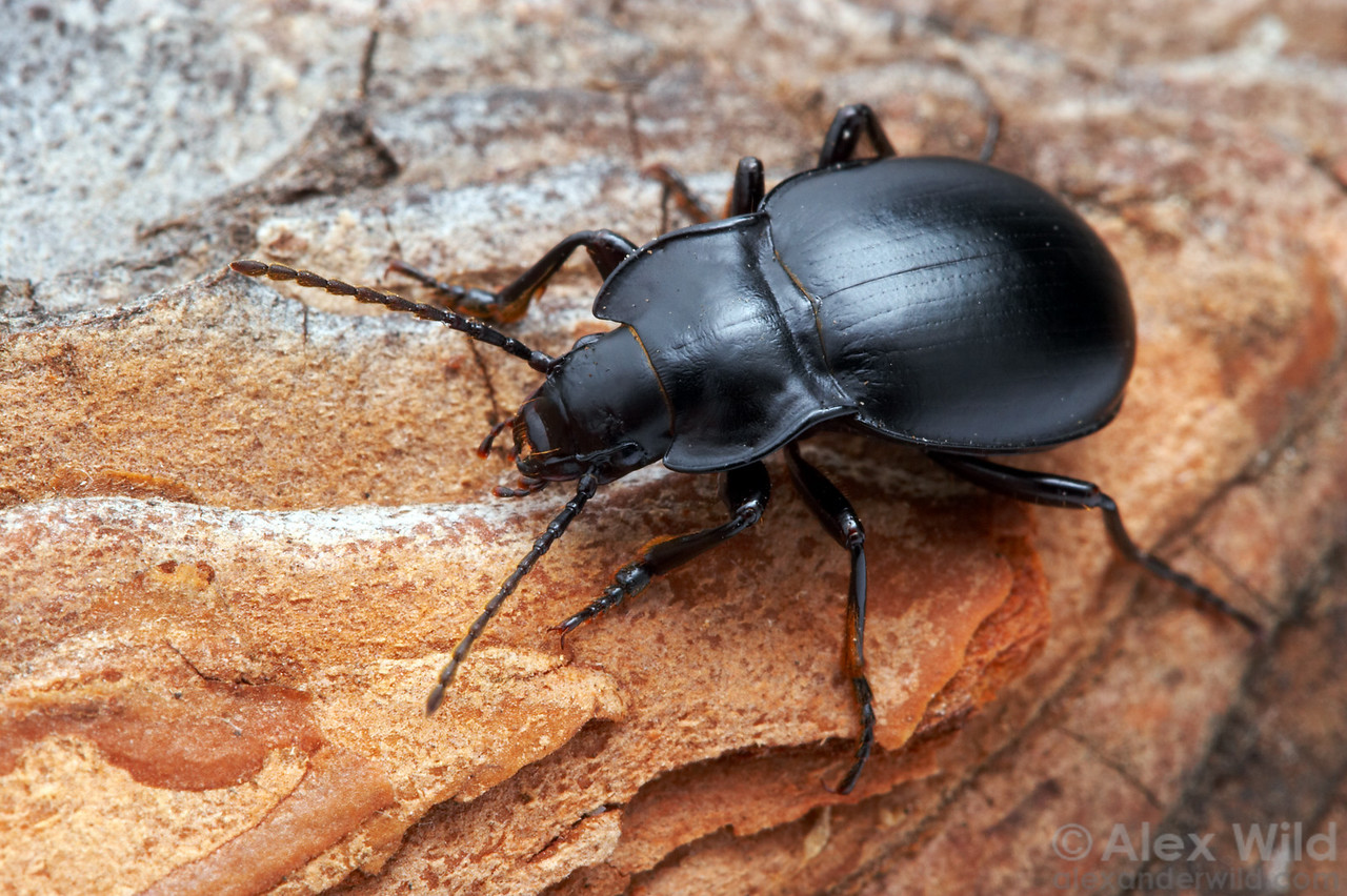 Metrius contractus, Bombardier Beetle.  Oregon, USA.  filename: Metrius1