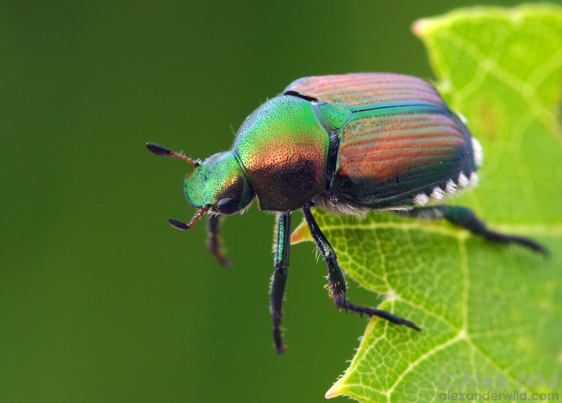 Popillia japonica - Japanese Beetle, Illinois, USA.  filename: popillia1