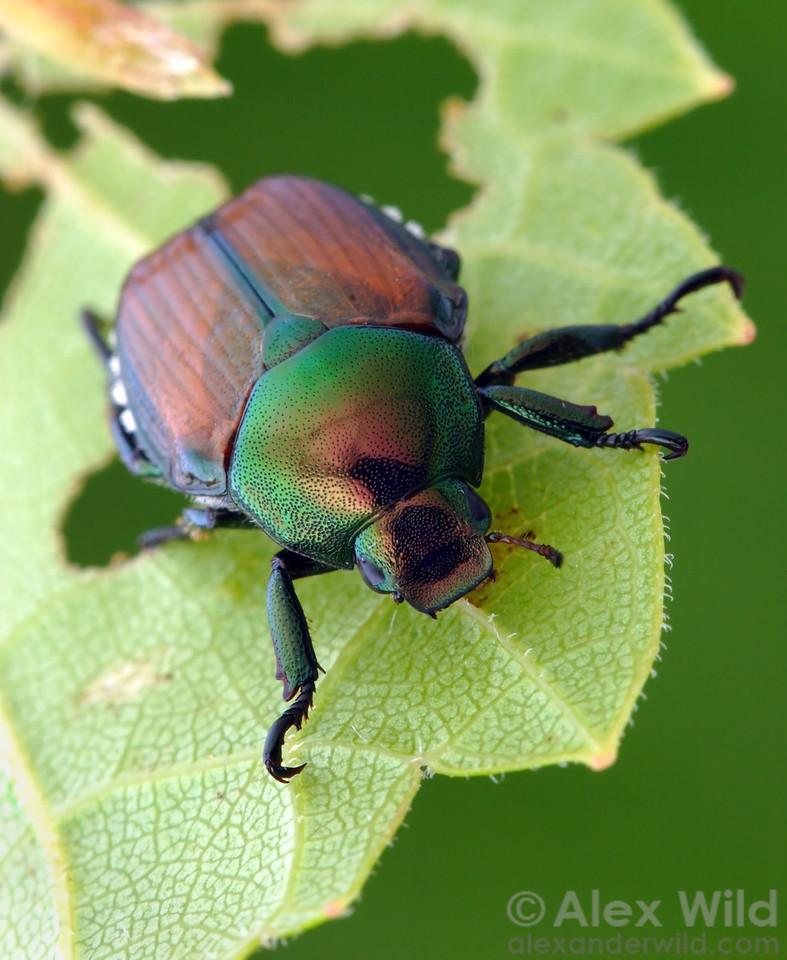 Popillia japonica - Japanese Beetle, Illinois, USA.  filename: popillia4