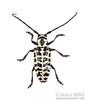 Cottonwood borer (Plectrodera scalator)