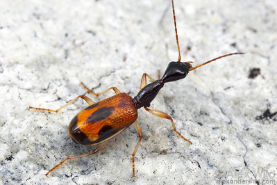 Colliuris sp. long-necked ground beetle.  Tucson, Arizona, USA.  filename: Colliuris3