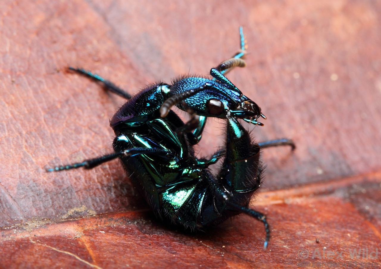 Plochionocerus rove beetle curled up in defensive position.  Jatun Sacha reserve, Napo, Ecuador