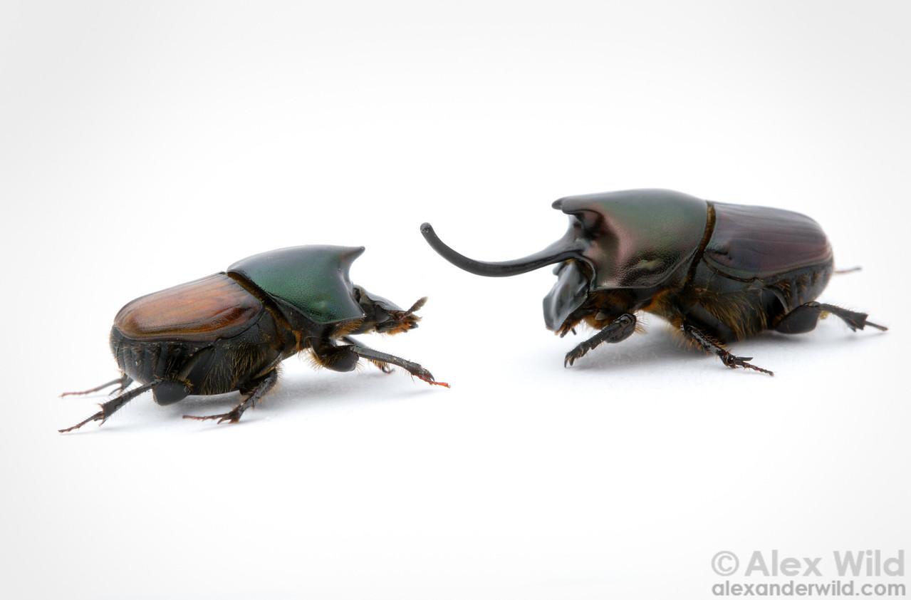 Onthophagus nigriventris dung beetle, minor (left) and major males.  The different forms represent alternative reproductive strategies within the species.  filename: nigriventris1