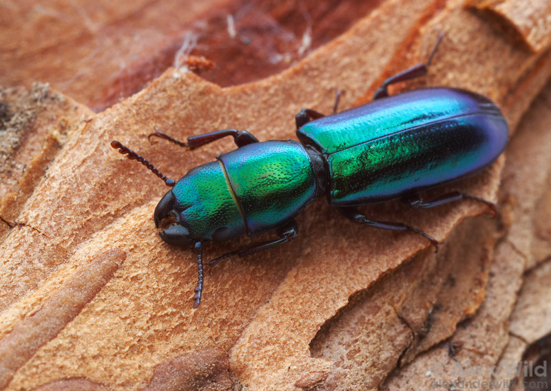Temnoscheila chlorodia bark-gnawing beetle (Trogossitidae).  Tucson, Arizona, USA.  filename: Temnsoscheila1