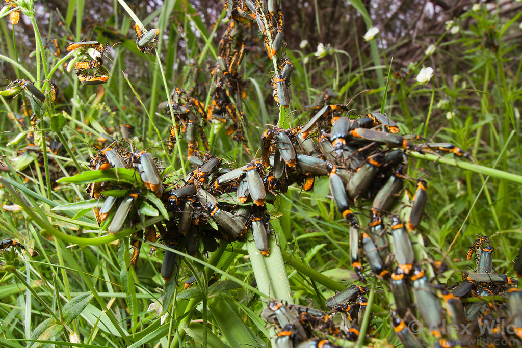 A dense mating aggregation of plague soldier beetles, Chauliognathus lugubris, in the Australian alps.  Mt. Hotham, Victoria, Australia