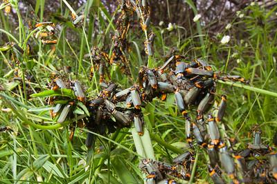 A dense mating aggregation of plague soldier beetles, Chauliognathus lugubris, in the Australian alps.  Mt. Hotham, Victoria, Australia