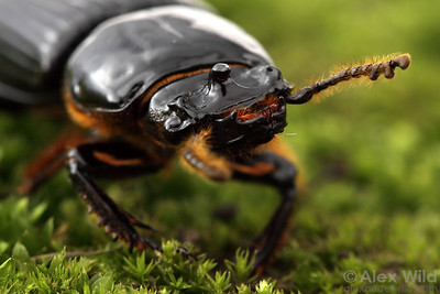 Odontotaenius disjunctus - horned passalus.  Dixon Springs, Illinois, USA