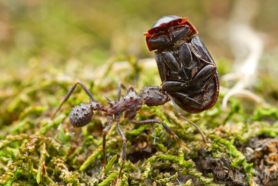 A aphodiine dung beetle allows itself to be carried back to an Acromyrmex crassispinus nest. The biology of these beetles has not been studied, but it is possible that they breed in the ant's midden chambers.  Curitiba, Paraná, Brazil