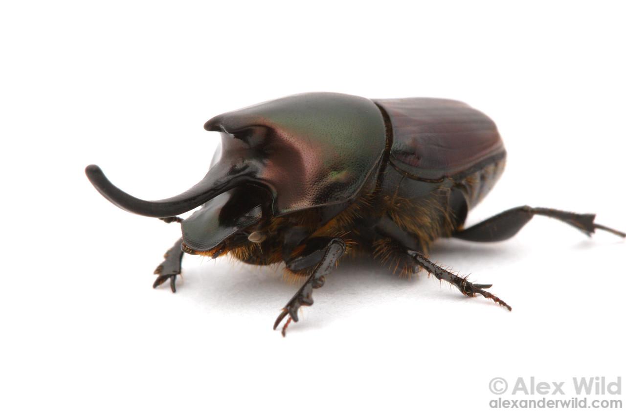 Onthophagus nigriventris dung beetle, major male.  filename: nigriventris2