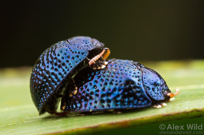 Hemisphaerota cyanea- Palmetto Tortoise Beetle- mating pair.  Gainesville, Florida, USA