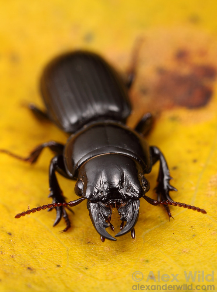 Scarites sp. ground beetle.  Urbana, Illinois, USA