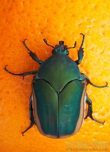 Cotinus mutabilis fig beetle.  Tucson, Arizona, USA.  filename: cotinus2