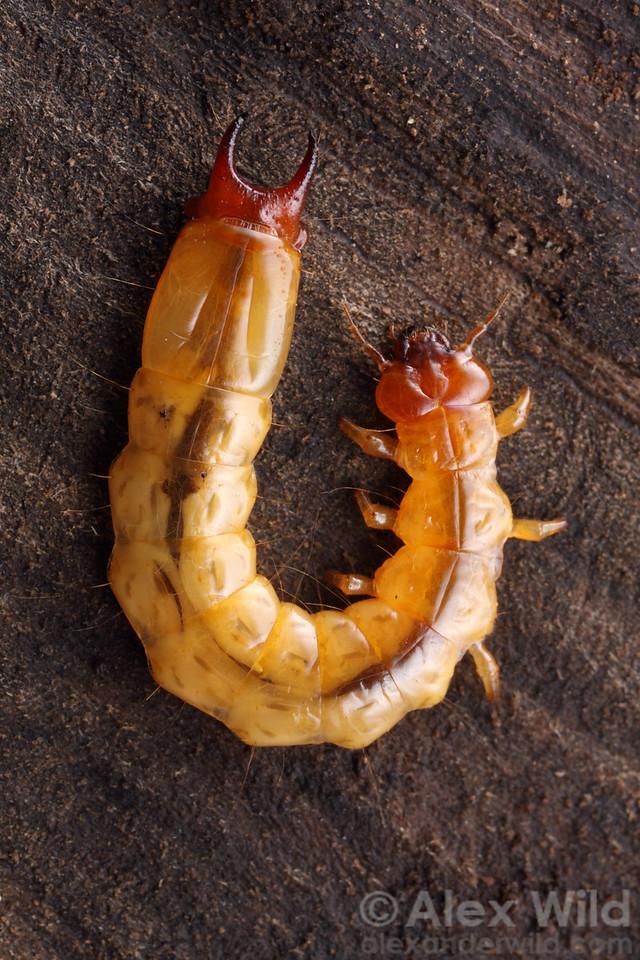 Dendroides sp. fire-colored beetle larva (Pyrochroidae)  Urbana, Illinois