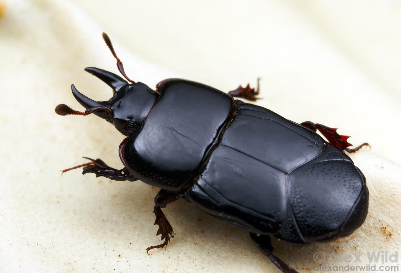 Hololepta - Clown Beetle. Santa Rita Mountains, Arizona, USA.  filename: hololepta3
