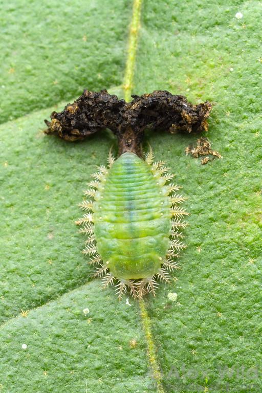 Plagiometriona c.f. clavata larva with fecal shield
