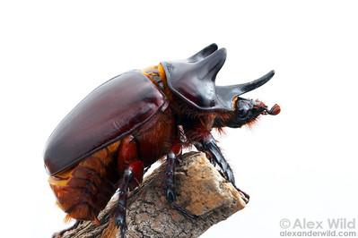 Strategus Rhinocerus Beetle.  Tucson, Arizona, USA.  filename: Strategus2