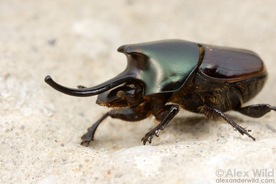 Onthophagus nigriventris dung beetle, major male.  filename: nigriventris6