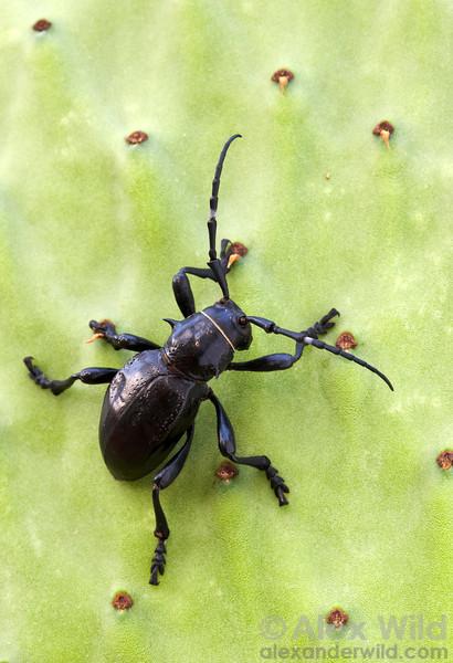 Moneilema gigas - cactus longhorn beetle (Cerambycidae).  Tucson, Arizona, USA.  filename: Moneilema3
