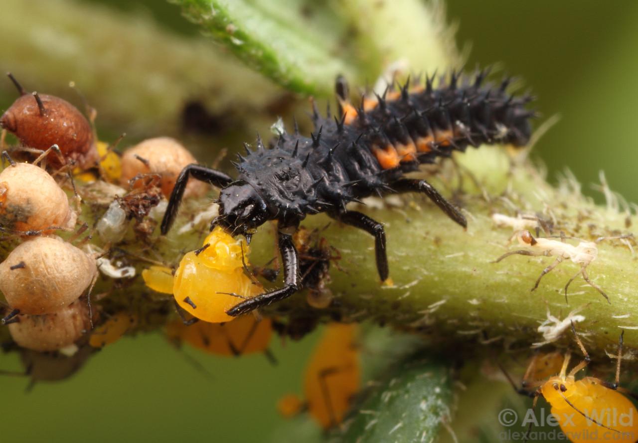 The larva of a lady beetle (Harmonia axyridis) makes short work of milkweed aphids (Aphis nerii).  Urbana, Illinois, USA