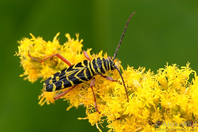 Megacyllene robiniae - Locust Borer. Champaign, Illinois.  filename: Megacyllene3