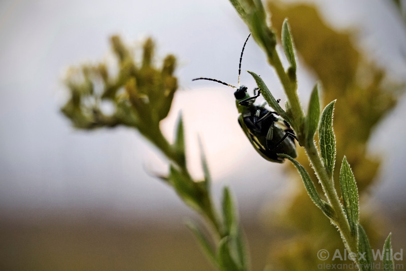 A Diabrotica spotted cucumber beetle clings to goldenrod in an early autumn prairie sunset.  Urbana, Illinois, USA