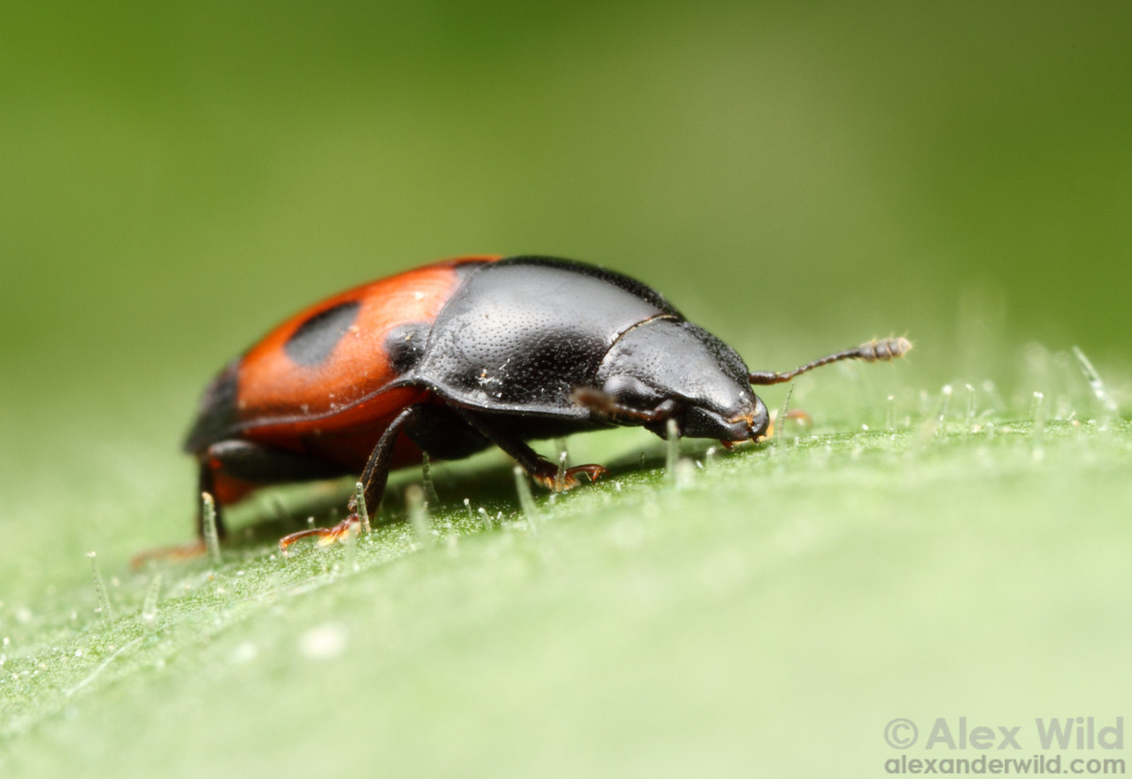 Glischrochilus sanguinolentus sap beetle (Nitidulidae).  Shawnee National Forest, Illinois, USA