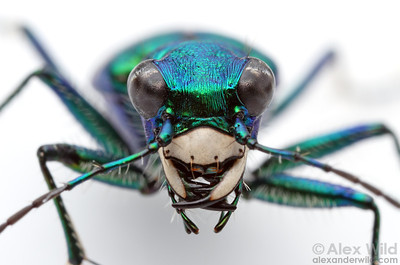 Cicindela sexguttata - six spotted tiger beetle  Urbana, Illinois, USA