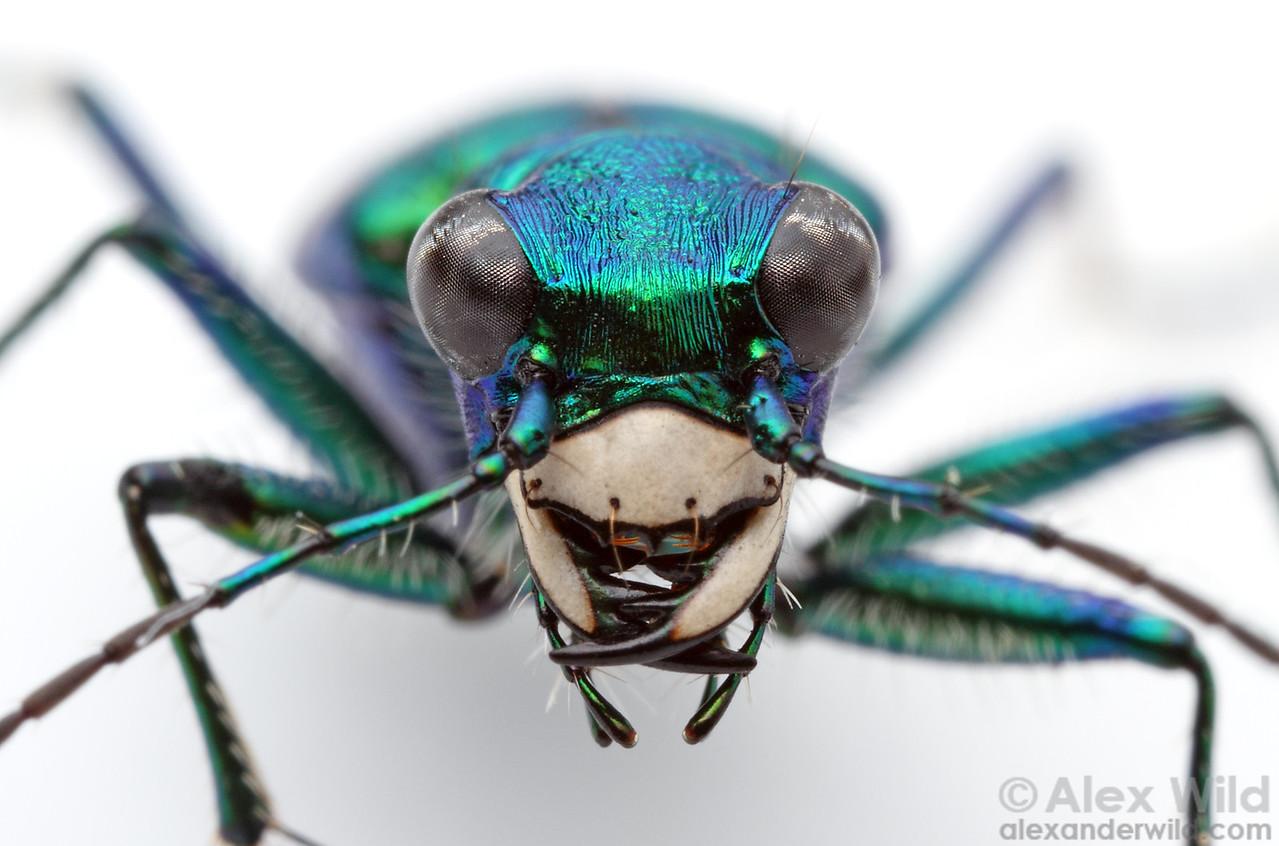 Cicindela sexguttata - six spotted tiger beetle  Urbana, Illinois, USA