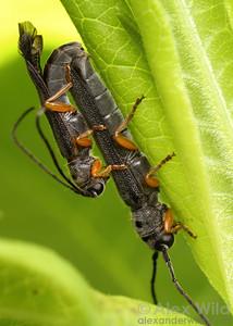 Oberea flavipes, phlox stem borer beetles (Cerambycidae).  Urbana, Illinois, USA