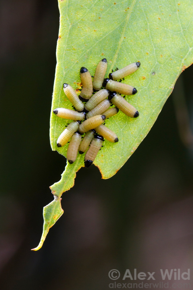 A gregarious cluster of Paropsisterna eucalyptus leaf beetles. These insects are chemically defended and are apparently more successful in advertising that fact in numbers.  Yandoit, Victoria, Australia