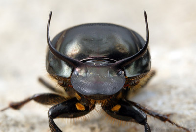 The full rack of a large male Onthophagus taurus dung beetle.  filename: taurus4