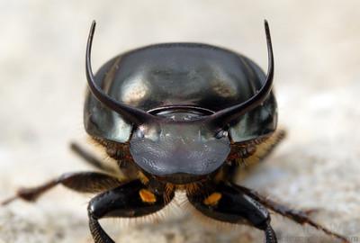 The full rack of a large male Onthophagus taurus dung beetle.  filename: taurus4