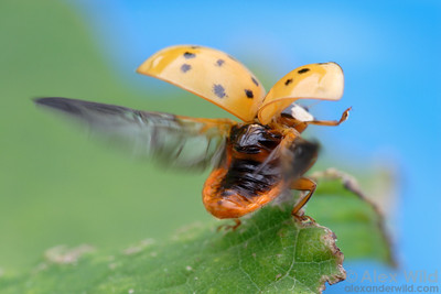Harmonia axyridis - Asian Multi-Colored Ladybeetle, taking flight.  Illinois, USA.  filename: Harmonia2