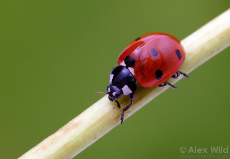 Coccinella septempunctata - Seven-Spotted Ladybird Beetle.  Illinois, USA.  filename: Coccinella1